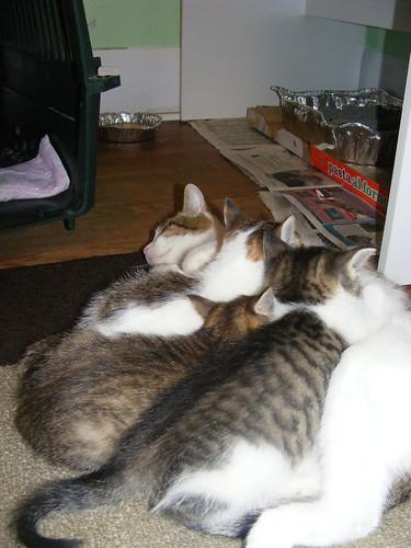 Lindsay's kittens nursing