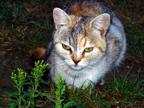cat – green eyes