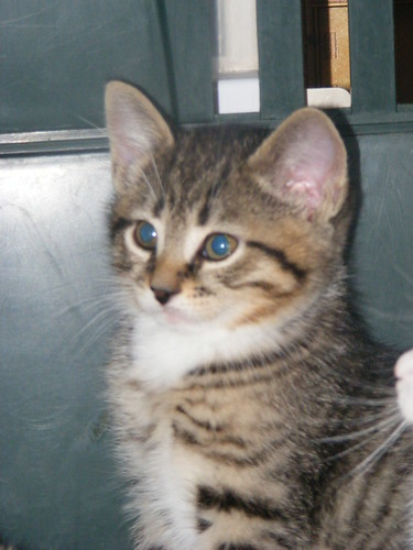 Harvey, aka Tigger – brown tabby kitten